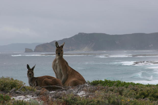 kangaroos_on_the_south_coast.JPG