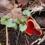 Scarlet_elf_cup____wild_ginger_thumb